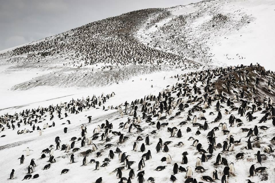 Antartida. Pingüinos Foto Ana María Civeira