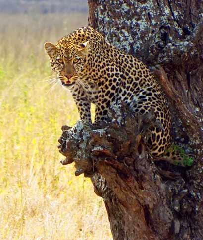 Si estás pensando en disfrutar de un safari en África Oriental, deja que te revelemos algunas claves ... <br> <a class=´vermellteula´>Seguir leyendo >>></a>